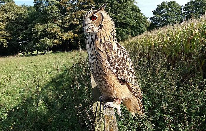 Indi the eagle owl