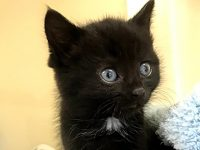 RSPCA treat Inky the kitten found abandoned in Nantwich