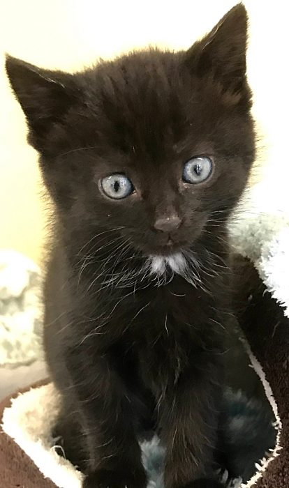 Inky the kitten with RSPCA