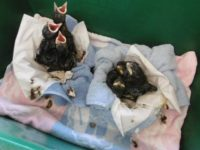 RSPCA appeal as hundreds of baby birds flock to Nantwich wildlife centre