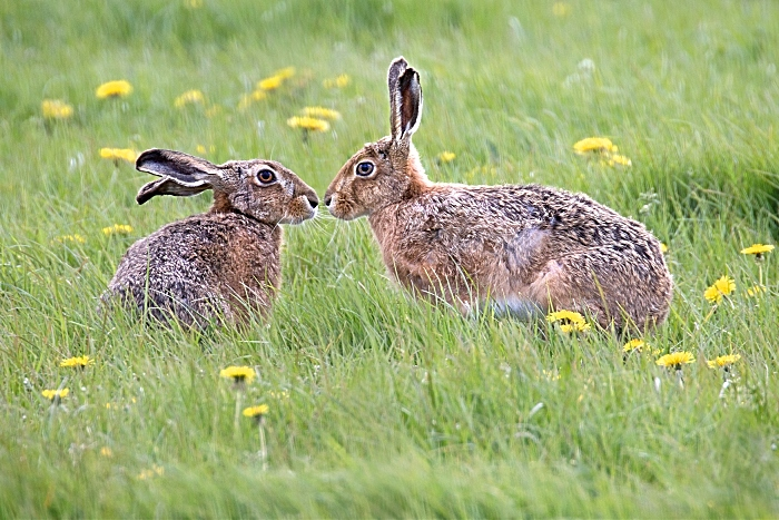 June - Winner Lynda Haney -Brown Hares - wildlife trust