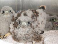 Baby kestrels nursed back to help by Nantwich RSPCA staff