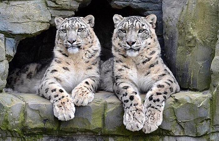 zoo - Lakeland Wildlife Oasis snow leopards (1)