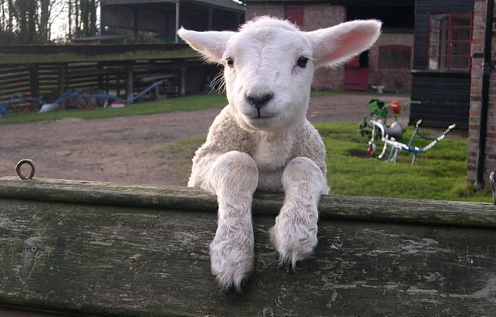 Lamb at tatton's farm_Amazed by Science (1)