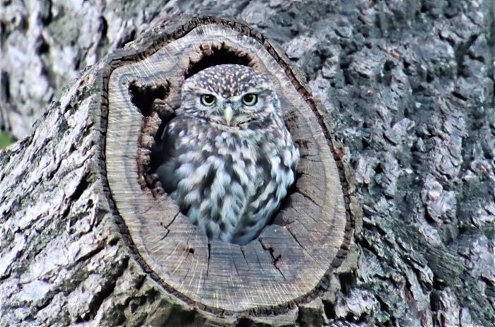 Little Owl - photo by Daniel Bain (1)