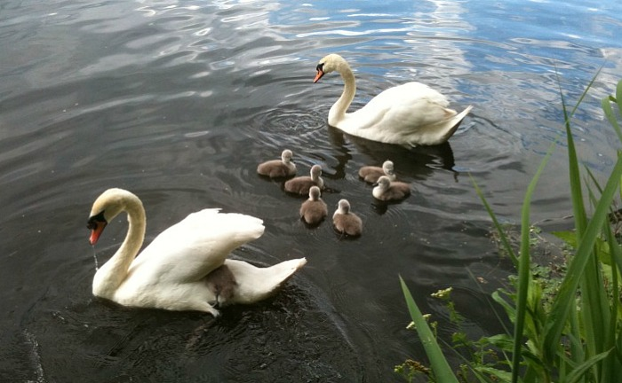 Mabel and mate with cygnets on Weaver
