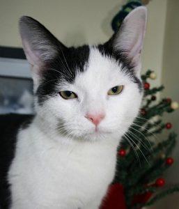 Mark, abandoned kitten, RSPCA Stapeley cattery