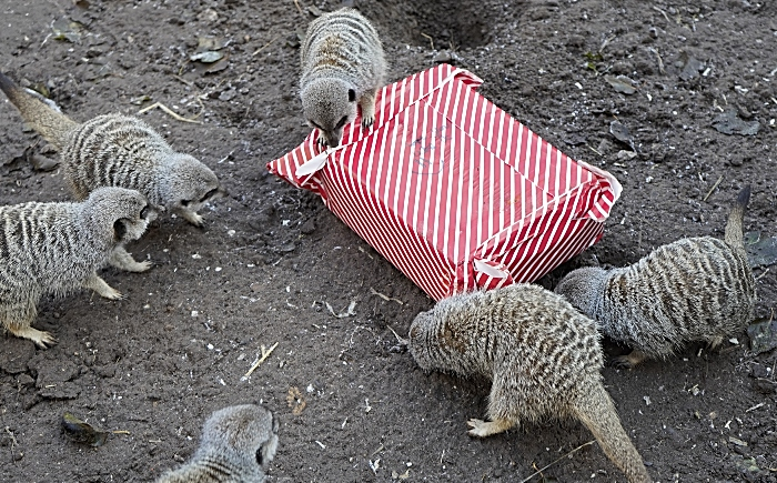 Meerkats with Christmas present (1)