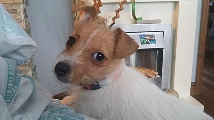 Mela - stolen Jack Russell Terrier