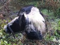 Horse rescued by fire crews from water-filled ditch near Nantwich