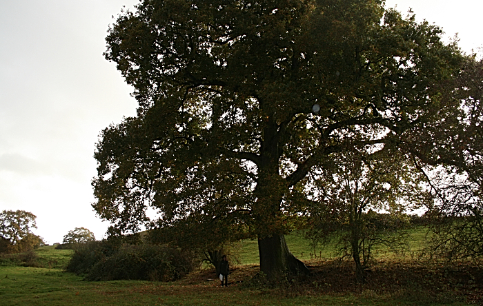 Oak in path hs2 line - cheshire wildlife trust