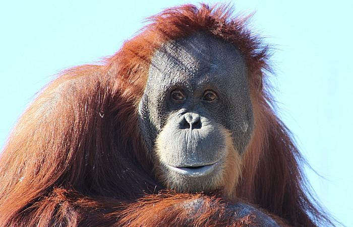 Orangutan - palm oil city chester