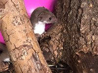 Rare weasel nursed via syringe at RSPCA Stapeley