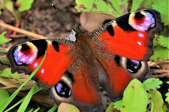 Peacock butterfly - photo by Daniel Bain (1)