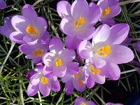 Rotary club competition for best purple crocus
