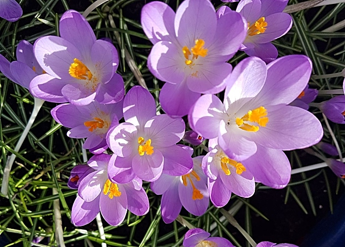 Purple Crocus - rotary competition