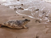 Seal treated at RSPCA Nantwich team released back to the wild