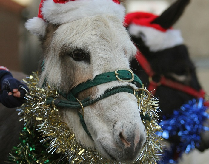 zoo - Reaseheath's festive donkeys
