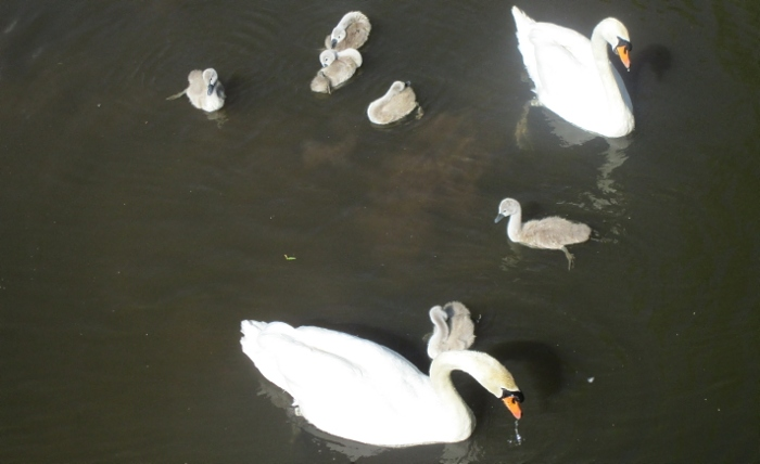 River Swans and Cygnets (1)
