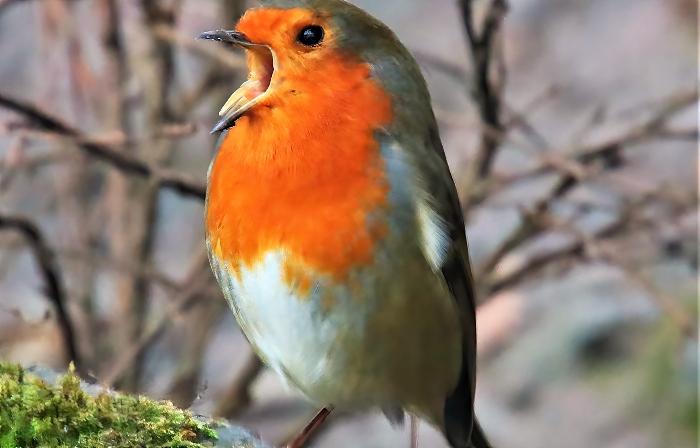 Robin - photo by Daniel Bain (1)