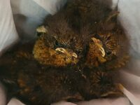 RSPCA Stapeley care for baby robins found in car after 200-mile journey