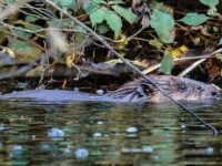 Tarporley youngster wins Beaver naming competition