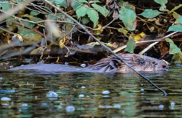 Rowan male beaver - pic by Rachel Bradshaw