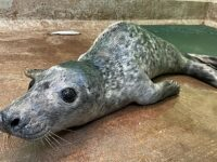 Seal pup attacked by dog recovers at Nantwich RSPCA centre