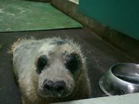 Stapeley RSPCA staff battle to care for rise in stranded seals
