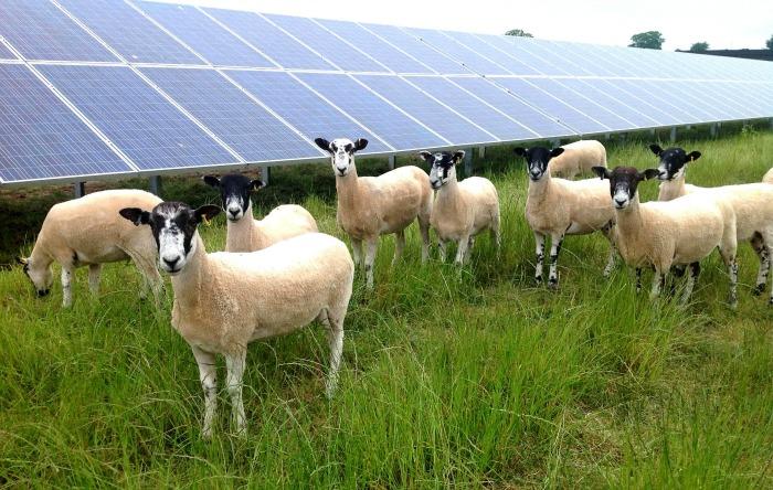 Sheep Grazing at Broadgate Solar Farm