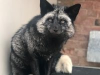 Rare silver fox handed in to RSPCA staff in Nantwich