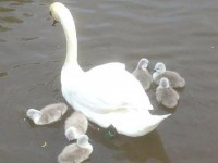 Four new cygnets feared dead on River Weaver in Nantwich