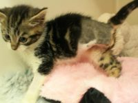 Kitten tangled in wire has leg amputated by RSPCA in Nantwich