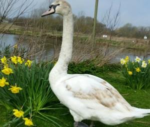 Swan at Nantwich Lake, wildlife group