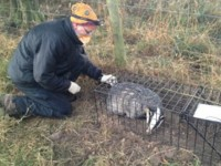 Badger vaccination scheme to be extended in Cheshire