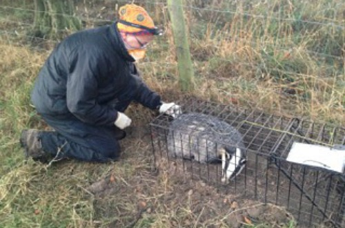 TB badger vaccination in Cheshire