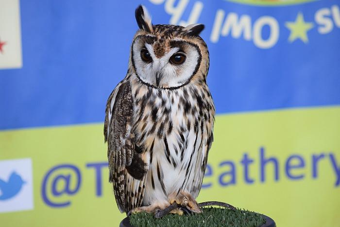 The Feathery Folk - owl on display