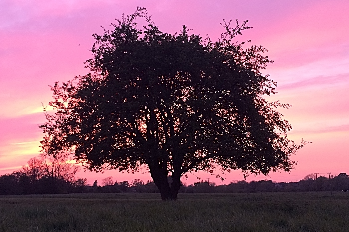 The tree on Witters Field during a red sky at night (1)