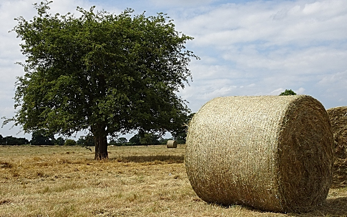 The tree whilst hay was being baled (1)