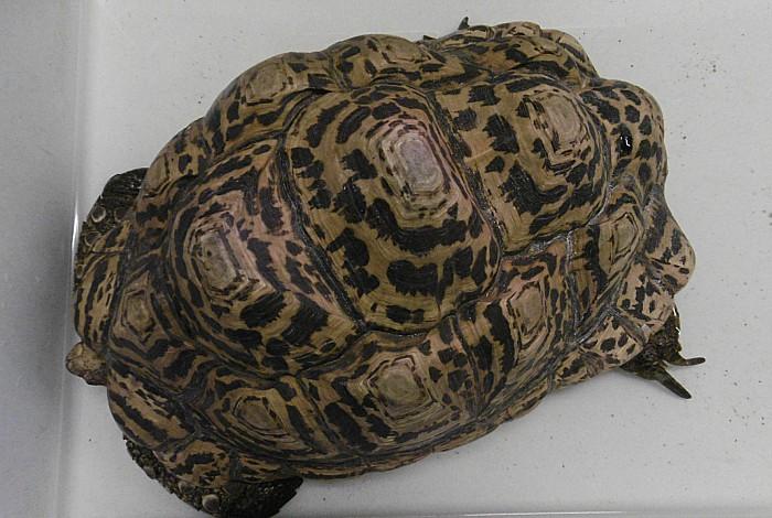 Tortoise, RSPCA Stapeley Grange