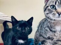 RSPCA appeal after two cats found dumped in layby near Nantwich