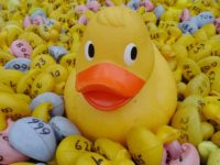 Wistaston to stage annual Duck Race at Joey the Swan