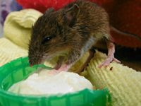Orphaned mouse saved by Nantwich RSPCA with porridge