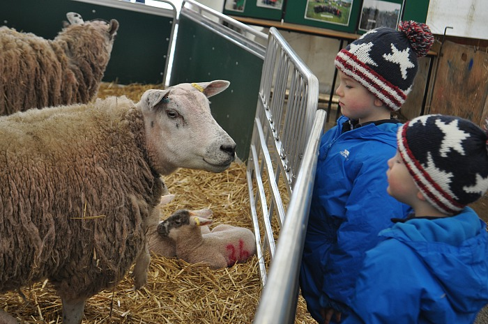 Lambing - Zac, 4, and Ben,2, Hynes from Willaston (1)