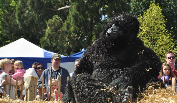 Family festival - a gorilla enjoys the sun at Reaseheath Family Festival