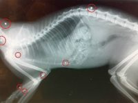 """RSPCA appeal as cat killed after being """"peppered"""" in air gun attack"""