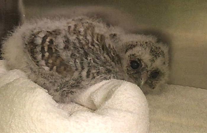 baby bird owlet, stapeley grange