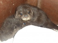 Baby otters rescued from storms recover at Nantwich wildlife centre