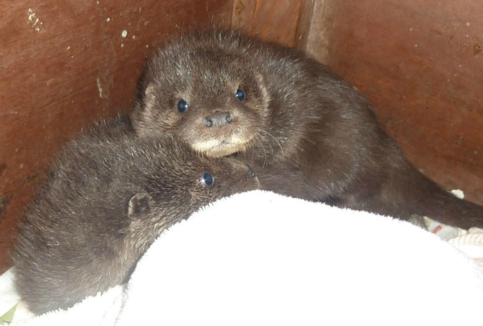 baby otters at stapeley grange