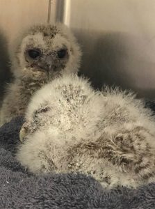 baby owls at stapeley grange wildlife centre